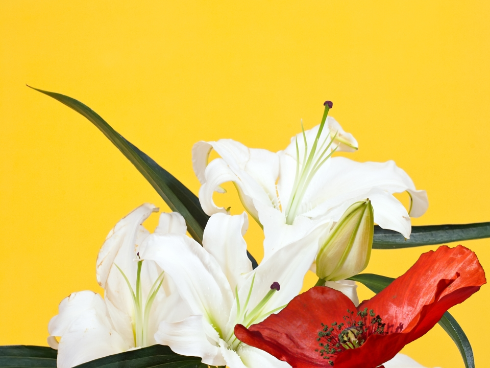 Composite image of lily stem and poppy on yellow background, taken from free online images